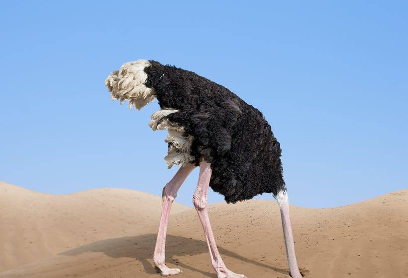 An Ostrich sticking its head in the sand.