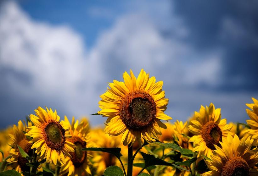 Image of sunflowers.